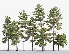 Pinus Sylvestris Pack 02 3D