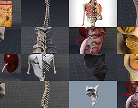 3D Dorsal and Lumbar Organs