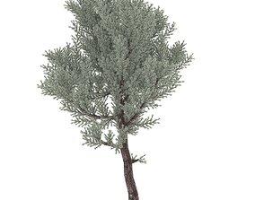 juniper02 3D asset low-poly
