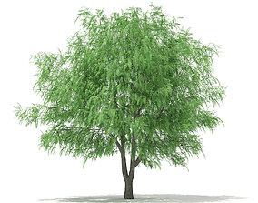 3D White Willow Salix alba 13m