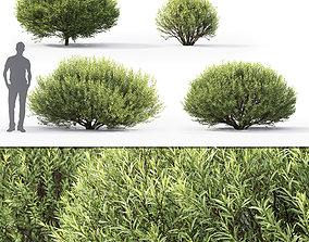 3D Salix purpurea nana 01 leaf