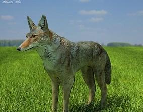 Coyote Canis latrans 3D asset