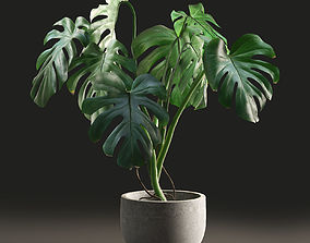 3D model Monstera in Pot1