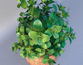 Mint in loft wooden pot 3D model