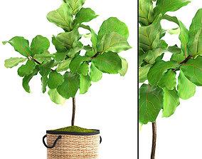 3D model Ficus Lyrata Trees leaves