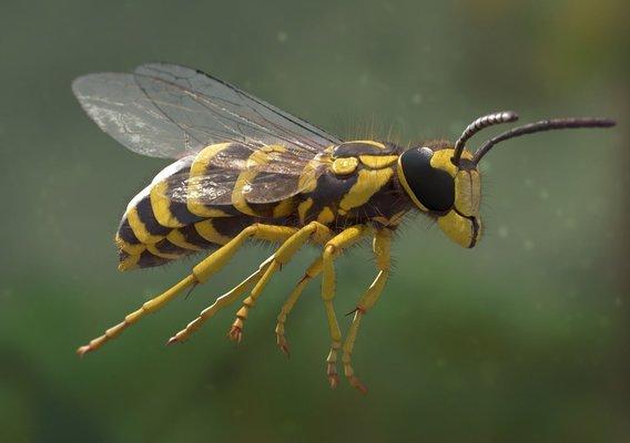 Vespula Squamosa - Yellow Jacket Wasp