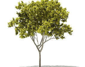 3D model Norway Maple Acer platanoides 6m 2