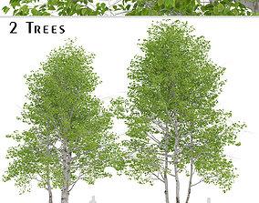 3D Set of Himalayan Birch or Betula Utilis Trees - 2 Trees