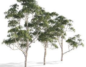 Eucalyptus collection 1 3D