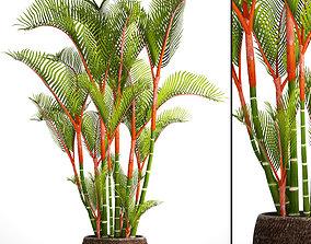 3D model Cyrtostachys renda palm 2