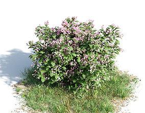 Catharantus rosea 12 am154 3D model
