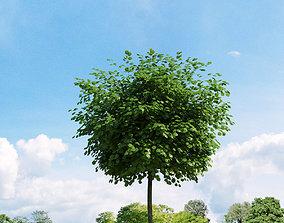 3D model Robinia pseudoacacia 020 v3 AM136