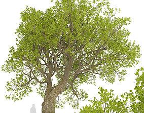 3D Set of Downy Oak or Quercus pubescens Trees - 2 Trees