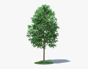 London Plane Tree 3D