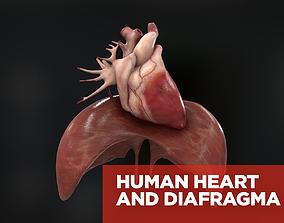 Human heart and diafragma 3D model PBR