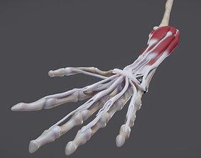 3D asset Flexor Muscles Of the hand