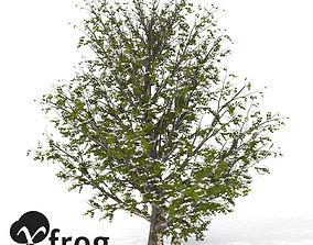 XfrogPlants Kousa Dogwood 3D model
