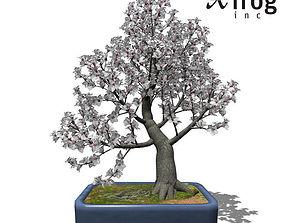 XfrogPlants Apricot tree - Bonsai 3D