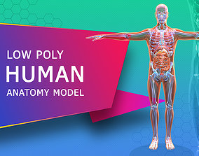 Low poly Human Anatomy Model game-ready