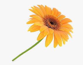 plant Gerbera 3D