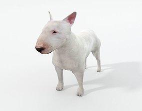 Bull Terrier 3D asset
