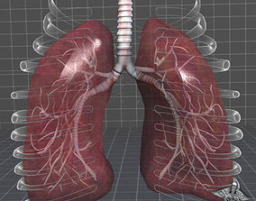3D model Lungs Anatomy