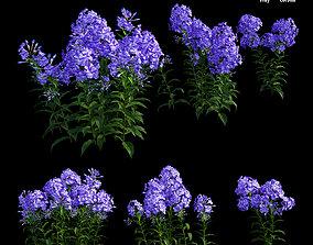 Phlox paniculata blue 3D model