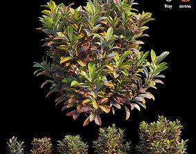 3D Croton plant set 17