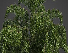 3D model 2021 PBR Paper Birch Collection - Betula