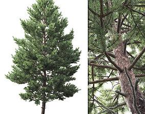 Pinus Sylvestris 03 3D