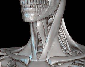 Human skeleton cranium 3D model