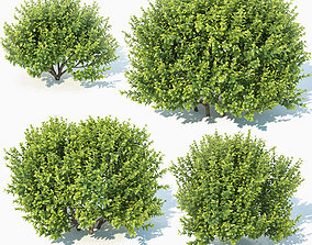 Buxus Sempervirens Nr11 natural 3D