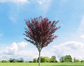 3D Prunus blireana 013 v1 AM136