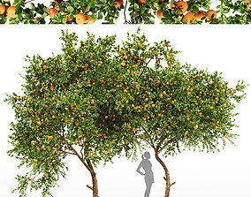 3D Tangerine fruit tree