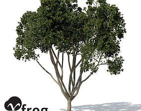 XfrogPlants Weeping Fig 3D model