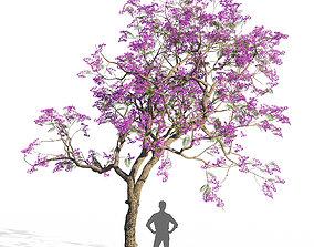 3D Jacaranda mimosifolia