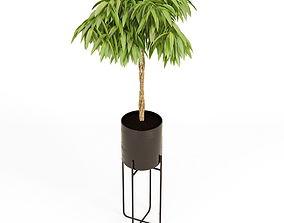 Ficus Amstel King Braid 3D model