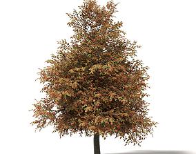 Mountain Ash 3D Model 8m forest