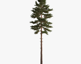 pine 3D model Scots Pine