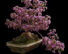 3D model Bonsai sakura in a concrete bowl
