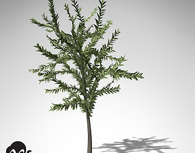 XfrogPlants Dicroidium 3D model