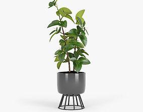 Ficus Elastica 3D model king