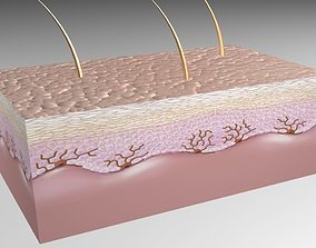 Skin Epidermis layers 3D model
