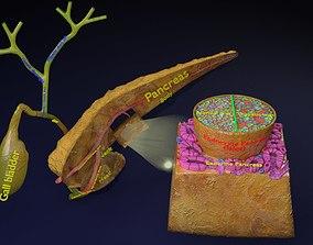 3D Diabetes pancreas anatomy microscopy islet beta insulin