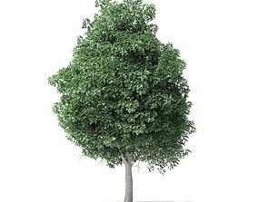 maple Boxelder Maple Tree 3D Model 11m