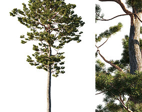 Pinus sylvestris tree 3D