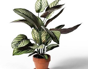 Calathea Ornata Sanderiana in Pot 3 3D