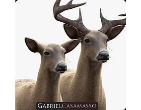 3D model White Tailed Deer - Odocoileus Virginianus