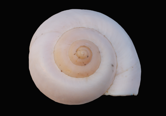 Ivory Snail Shell