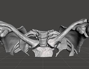 3D model Upper Chest Bone - female